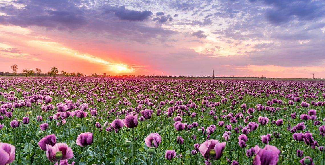purple-petaled-flower-field-1131407